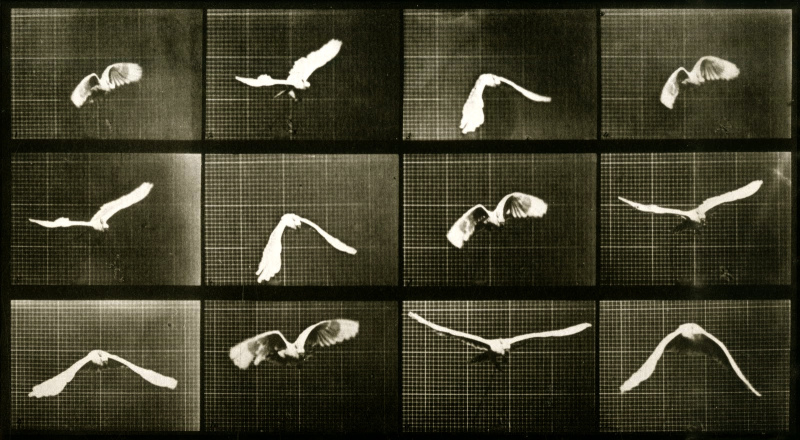 muybridge-birds-sequence